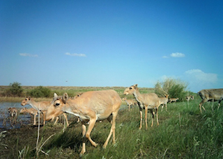 ABCK-saiga-herd-camera-trap.jpg