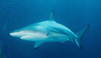 Carcharhinus.jpg