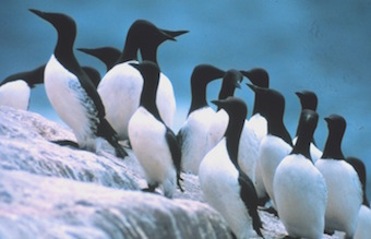 Common_murres.jpg