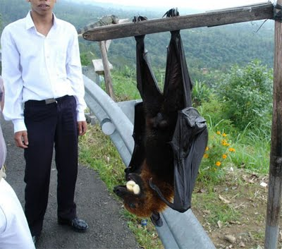 Flying-Fox.jpg