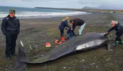 Iceland-PilotWhale-Dead.jpg