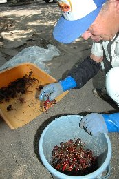 crayfish-niigata.jpg