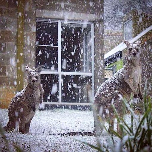 kangaroos-in-snow.jpg