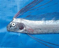 oarfish-japan-2013.jpg