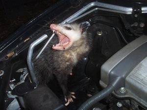 opossum023.jpg