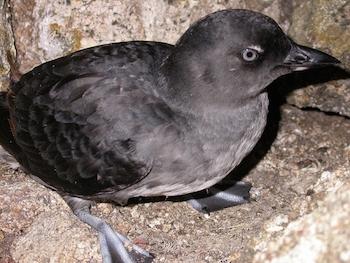 pacific-coast-birds.jpg