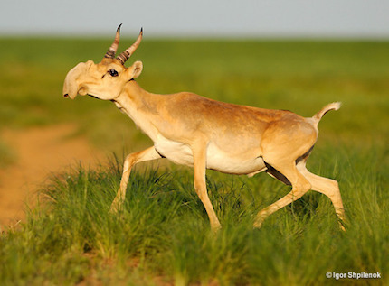 saiga-antelope.jpg