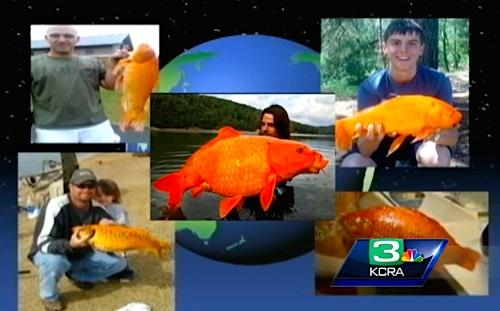 us-goldfish.jpg